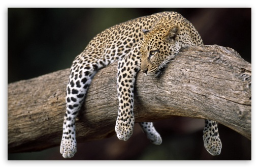 leopard_in_tree-t2